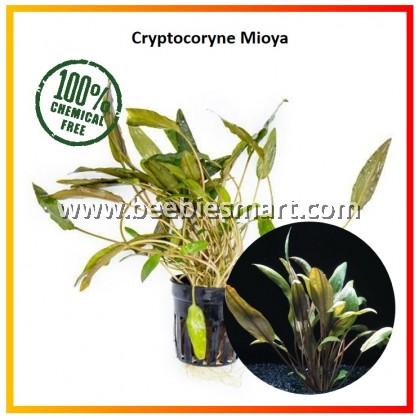 Cryptocoryne Mioya