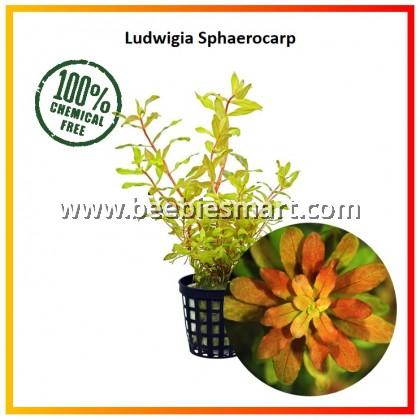 Ludwigia Sphaerocarpa