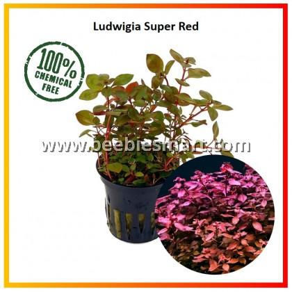 Ludwigia Super Red