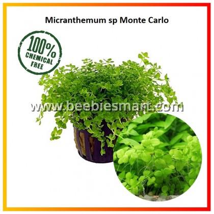 Micranthemum sp 'Monte Carlo' - Fore Ground Carpet Plants