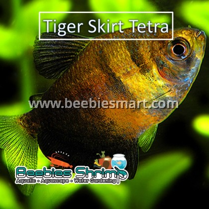 Tiger Skirt Tetra