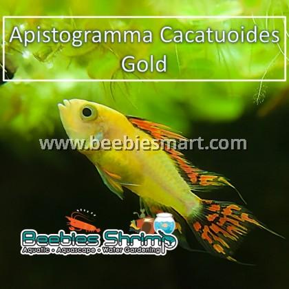 Apistogramma Cacatuoides Gold (1 Pair)