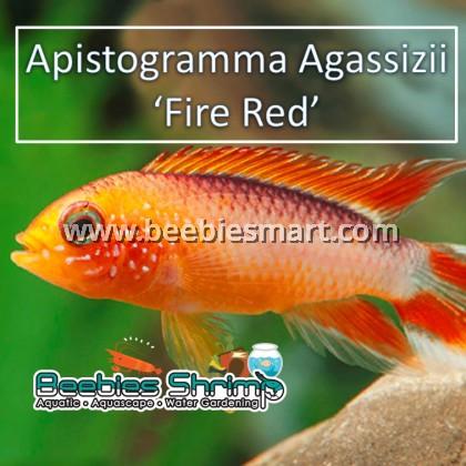 Apistogramma Agassizii 'Fire Red'