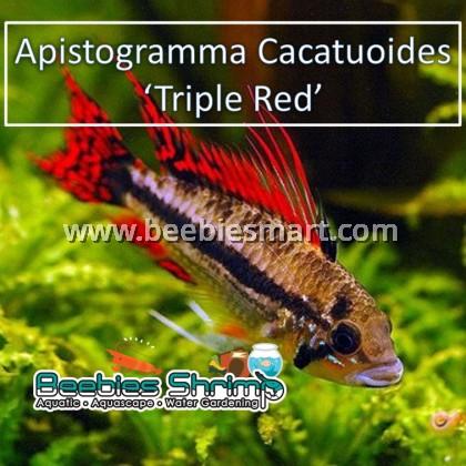 Apistogramma Cacatuoides Triple Red (1 pair)