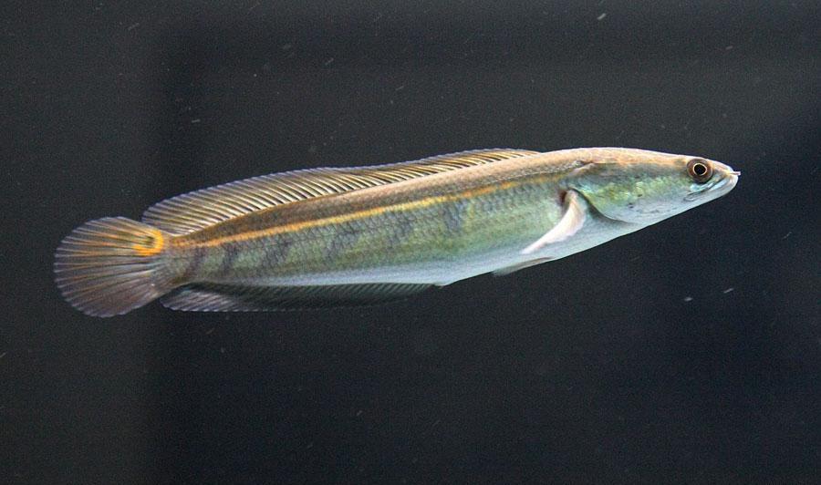 Channa Marulioides (Toman Bunga)