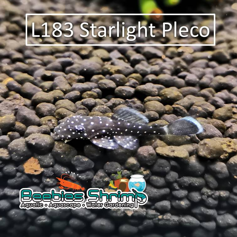 L183 Starlight Pleco
