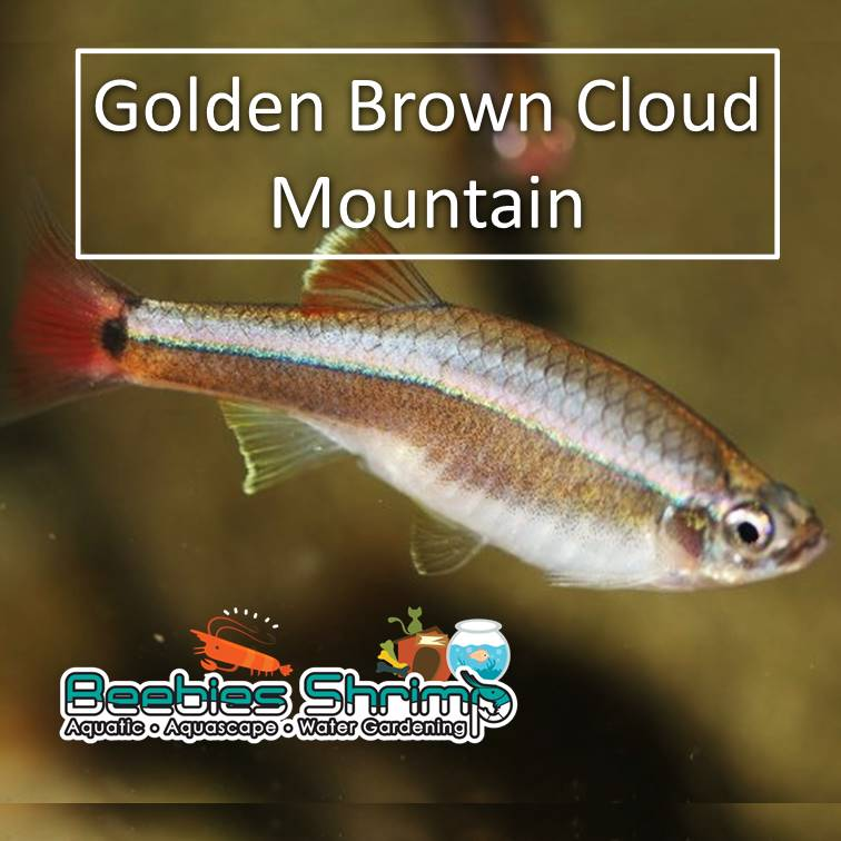 Golden Brown Cloud Mountain